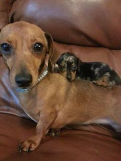 baby Dachshund on big Dachshund