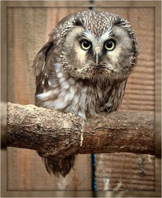 Tengmalms Owl ;) - WELL......YOU LOOK ABSOLUTELY MISERABLE!!