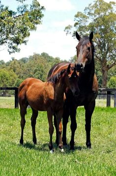 Black Caviar and her foal