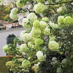 Planting Flowering Shrubs: Elegant Chinese Snowball Viburnum - Southern Living