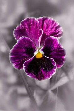 Sweet Purple Pansy Flower