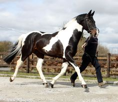http://www.theipsa.com/images/stallion-images/bambam3.jpg