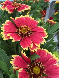 Sunset Cutie Blanket Flower - Monrovia - Sunset Cutie Blanket Flower