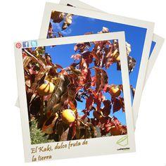 Hoy os traemos otra buena fruta del otoño, el Kaki. Está muy buena si se prepara bien, si no, agarrarse la lengua!! :P