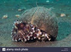 Image result for coconut octopus Coconut Octopus, Octopus Pictures, Turtle, Animals, Image, Turtles, Animales, Animaux, Tortoise Turtle