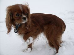 Ruby Cavalier in the snow