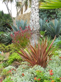 Blue Chalk Sticks seems to be a component of many California Friendly gardens, especially those with a succulent or Arid Tropical theme.