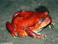 The Tomato frog (Dyscophus antongili) can release a sticky glue-like secretion that protects it against colubrid snakes, cats, and dogs. The secreted substance can produce an allergic reaction in humans as well.