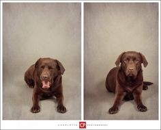 See related links to what you are looking for. Somerset, Pet Portraits, Labrador Retriever, Pets, Gallery, Photography, Animals, Labrador Retrievers, Photograph