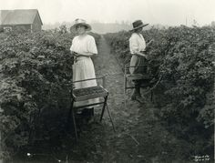 Women picking evergreen blackberries in western Oregon, 1910