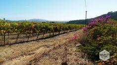 Het treintje van de Franschoek Wine Tram doorkruist traag maar vastberaden het Zuid-Afrikaanse platteland. De wijnranken waar we langskomen staan in nette rijen opgesteld.