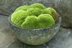 how to grow moss.Take a clump of healthy moss and crumble it into your blender. Add 2 cups of buttermilk and 2 cups of water. Blend at the lowest speed until it is completely mixed and the consistency of a thin milk shake. Green Garden, Garden Pots, Succulents Garden, Succulent Planters, Hanging Planters, Growing Moss, Growing Plants, Moss Art, Cactus Y Suculentas
