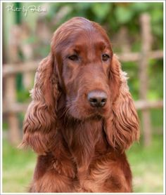 Ohhhh how I want an irish setter!  Best childhood memories was with my four legged friends.