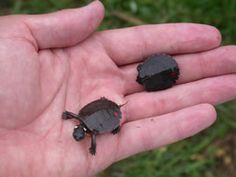These are painted turtle hatchlings. Every one loves baby animals, so why not these from Savannah River Ecology Laboratory http://srelherp.uga.edu