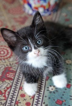 What An Adorable Tuxedo Kitten Cute Cats And Kittens, I Love Cats, Crazy Cats, Cool Cats, Kittens Cutest, Ragdoll Kittens, Tabby Cats, Funny Kittens, Bengal Cats