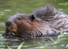 The beaver, one of Canada's natural symbols. (huffingtonpost.ca)
