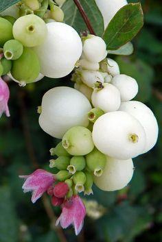 Snowberry (symphoricarpus albus) | Flickr - Photo Sharing!