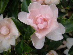 Camellia x 'Winter's Rose'