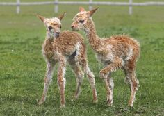 Baby alpacas. @Emily Stoddard Furrow weeks I've found a place to buy alpacas in bulk. This is happening.