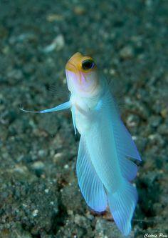 Dancing--Yellowhead Jawfish (Opistognathus aurifrons)