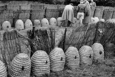 circa 1956 - Bee Market at Veenendaal, Netherlands - Beekeepers from the neighboring countryside are gathering skeps on a farm near Veenendaal, making preparations for one of the oldest and largest bee markets in Europe.