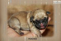 Pug puppy for sale near Mcallen / Edinburg, Texas | a54b9cd8-1721