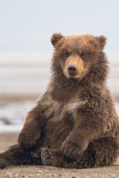 Coastal brown bear cub | by pilapix