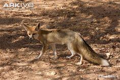 Rüppel's fox, side view