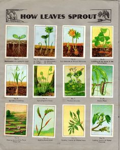 NESTLE': Wonders of the World (1932 - How Leaves Sprout)