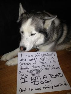 """""""I ran off (again) the other night in search of the cute Husky down the road. I WORRIED my humans ALL NIGHT! I AM A BAD DOG! (But if was totally worth it!) ~ Dog Shaming - run away Husky - lol Husky Humor, Husky Quotes, Dog Quotes, Cute Husky, My Husky, Siberian Husky Puppies, Husky Puppy, Siberian Huskies, Mini Huskies"""