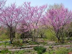 Cercis canadensis Common Name: eastern redbud Type: Tree Family: Fabaceae Native Range: North and Central America Zone: 4 to 8 Height: 20.00 to 30.00 feet Spread: 25.00 to 35.00 feet Bloom Time: April Bloom Description: Pink Sun: Full sun to part shade Water: Medium