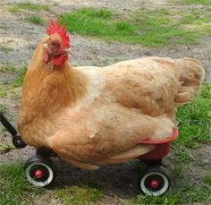 Chicken in a wagon.  He's acting like a cat.