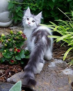Z Tail - Maine Coon - absolutely gorgeous kitty http://www.mainecoonguide.com/
