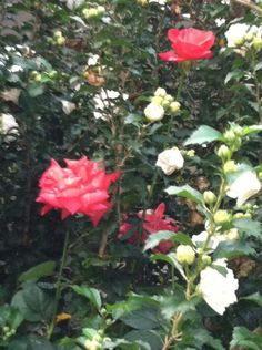 Roses an a flower tree ♥