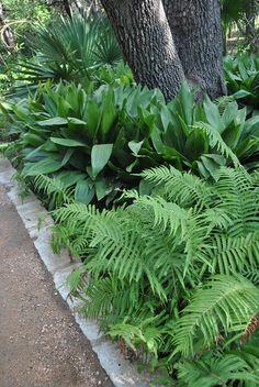 Cast iron plant in a woodland garden Ferns Garden, Shade Garden, Lawn And Garden, Tropical Landscaping, Backyard Landscaping, Southern Landscaping, Tropical Gardens, Landscaping Ideas, Back Gardens