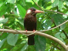 Foto ariramba-vermelha (Galbalcyrhynchus leucotis) por Robson Czaban