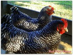 Plymouth Rock - Social and friendly. My kids enjoyed holding and petting these hens when we had them. We will be getting more soon.
