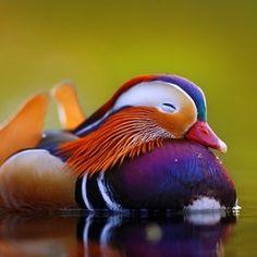 Amazing. Mandarin Duck