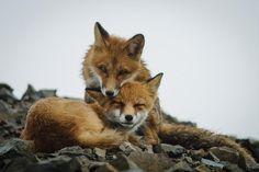 twee rode vosjes bij elkaar