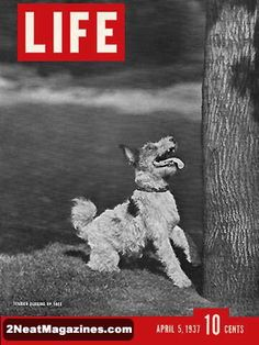 Life Magazine April 5, 1937 : Cover - Terrier barking up a tree.
