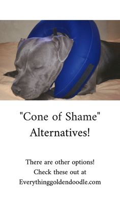 Cone of shame alternatives Goldendoodle Training, Dog Chews, New Puppy, Cute Animals, Puppies, Learning, Dogs, Advice, Pretty Animals