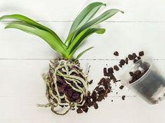 Orchidea come curarla - Una pianta graziosa e delicata, ma che al tempo stesso non richiede tanto tempo per la sua manutenzione l'argomento di oggi è: orchidea come curarla Cactus, Water Garden, Plant Care, Fertility, Vegetable Garden, Evergreen, House Plants, The Cure, Planter Pots