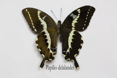 Swallowtail butterfly from Madagascar, Papilio delalandei, photographed by:  Darrell Gulin