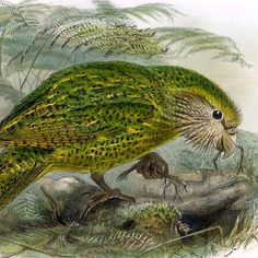 Where do the world's biggest parrots live? In New Zealand! The #Kakapo is a species of large, flightless nocturnal #parrot. Though the Kakapo cannot fly, it is an excellent climber, ascending to the crowns of the tallest trees. Only about 100 living individuals are known.