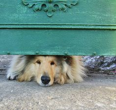 Peek-a-boo Collie