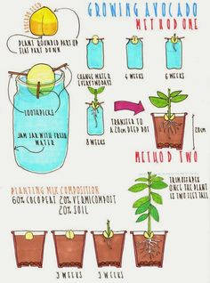 Grow Your Own Avocado Tree