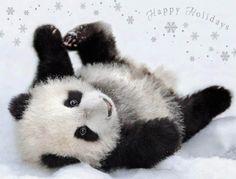 Posing Panda Christmas Cards Team Husar Wildlife Photography http://www.amazon.com/dp/B00GIOU8MM/ref=cm_sw_r_pi_dp_lKtHub1ZJPYP2