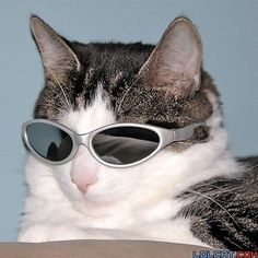 """spiirt: """"Some cats in some funky sunglasses """" Animals And Pets, Funny Animals, Cute Animals, Cat Wearing Glasses, Cat Sunglasses, Photo Chat, Cat Wallpaper, Cute Creatures, Funny Animal Pictures"""