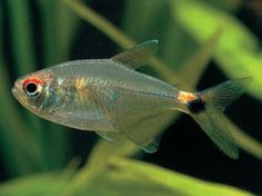 Head Tail Light Tetra Tropical Fish Aquarium Tropical Fish Fish