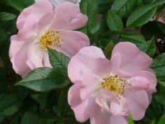 Rosa 'Dagmar Hastrup' (Rosa rugosa 'Dagmar Hastrup')